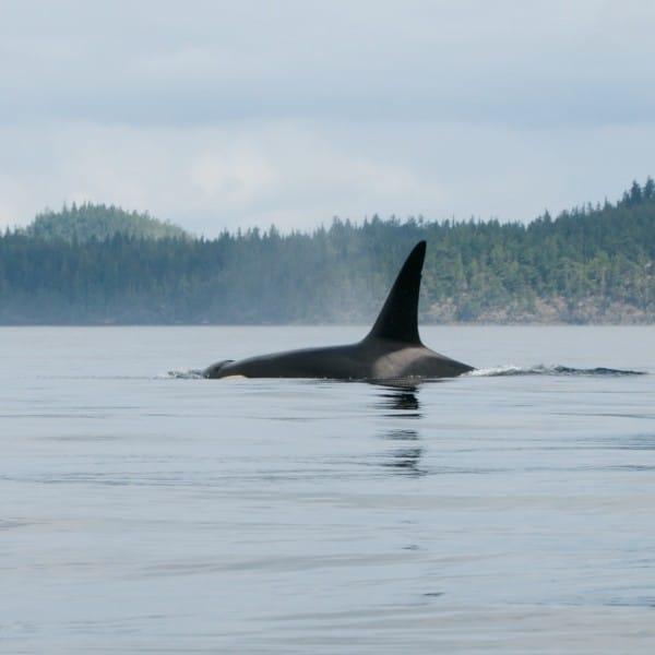 voir les orques au canada