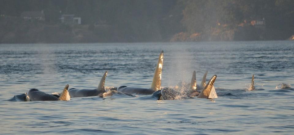 orques canada