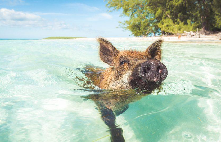 Les COCHONS nageurs aux Iles des BAHAMAS